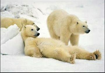 polar-bears-rest-time[1]